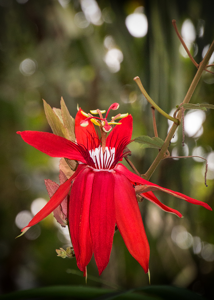 Passiebloem - Passion flower