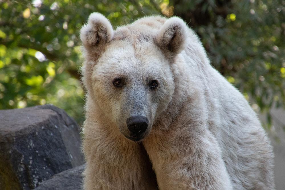 Syrische bruine beer - Syrian Brown Bear
