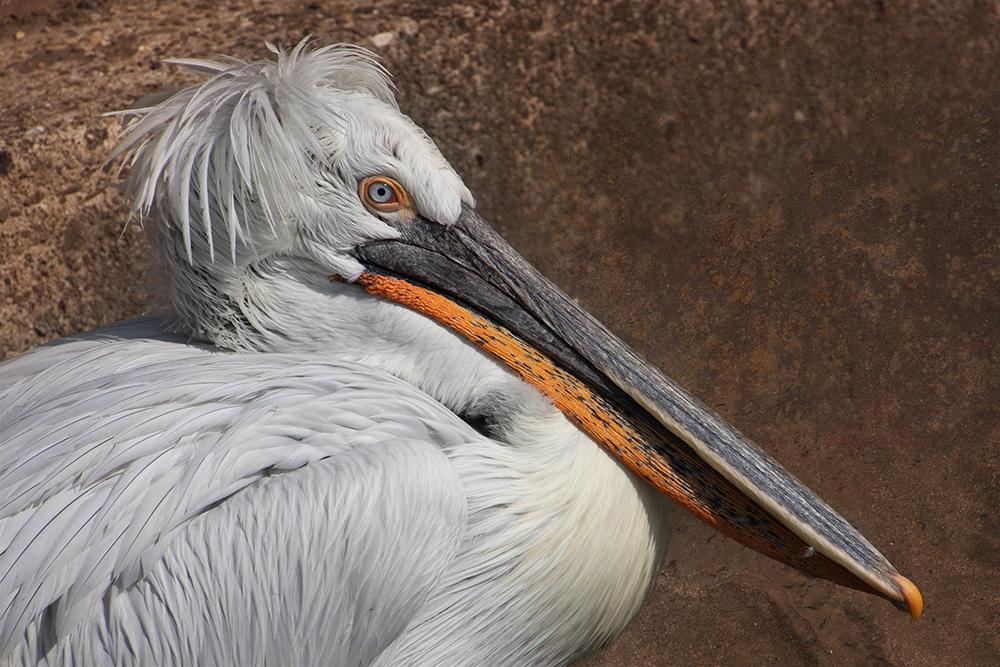 Kroeskop pelikaan - Dalmatian pelican