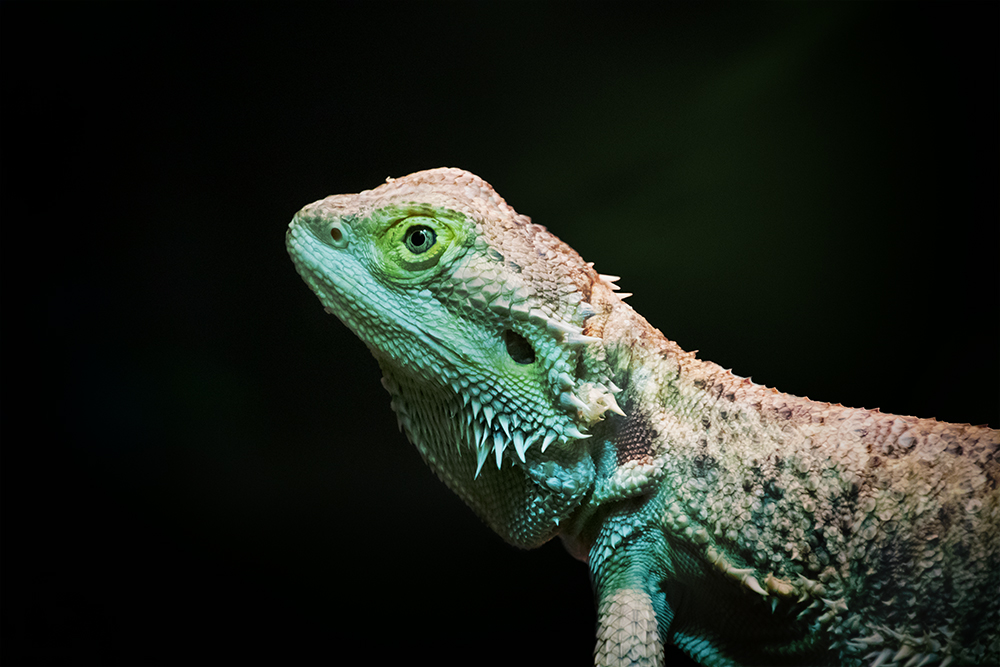 Baardagaam - Bearded dragon