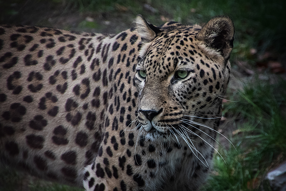 Perzische panter - Persian leopard