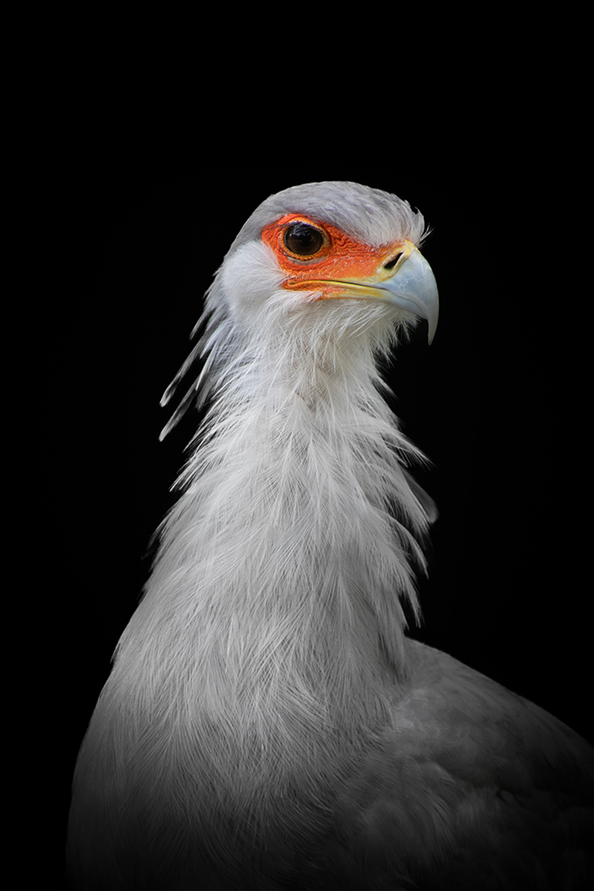 Secretarisvogel - Secretarybird
