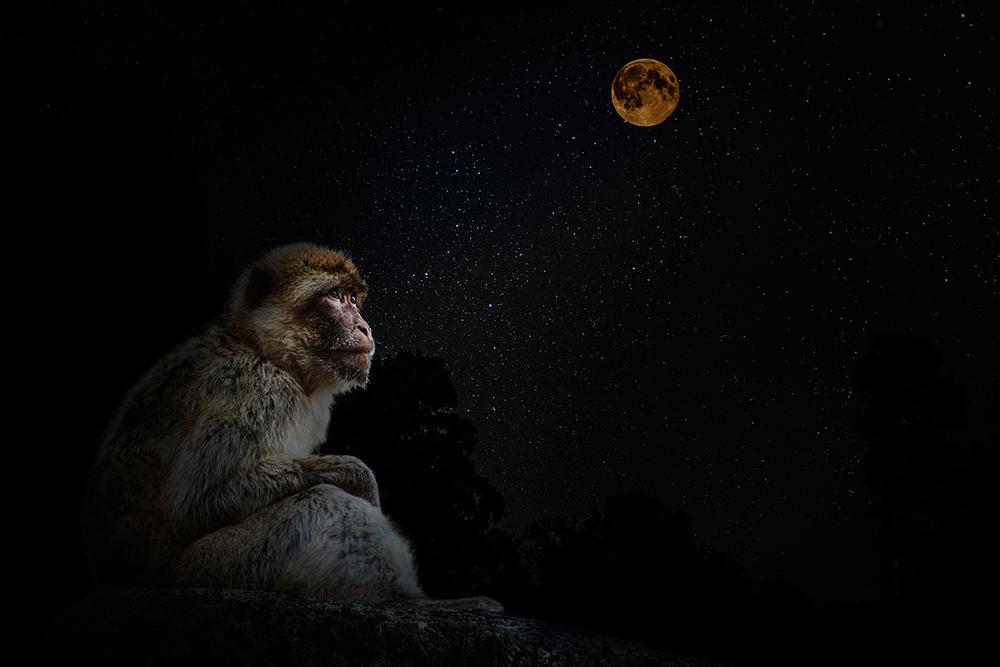 Berberaap - Barbary macaque (Apenheul Apeldoorn)