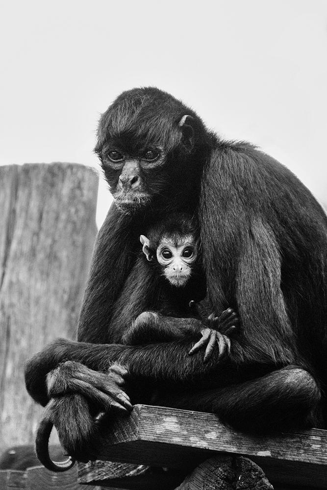 Slingeraap - Spider monkey