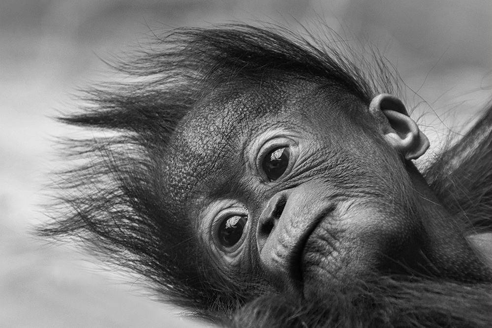 Orang oetan - Orangutan