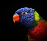 Regenboog Lori - Rainbow Lorikeet