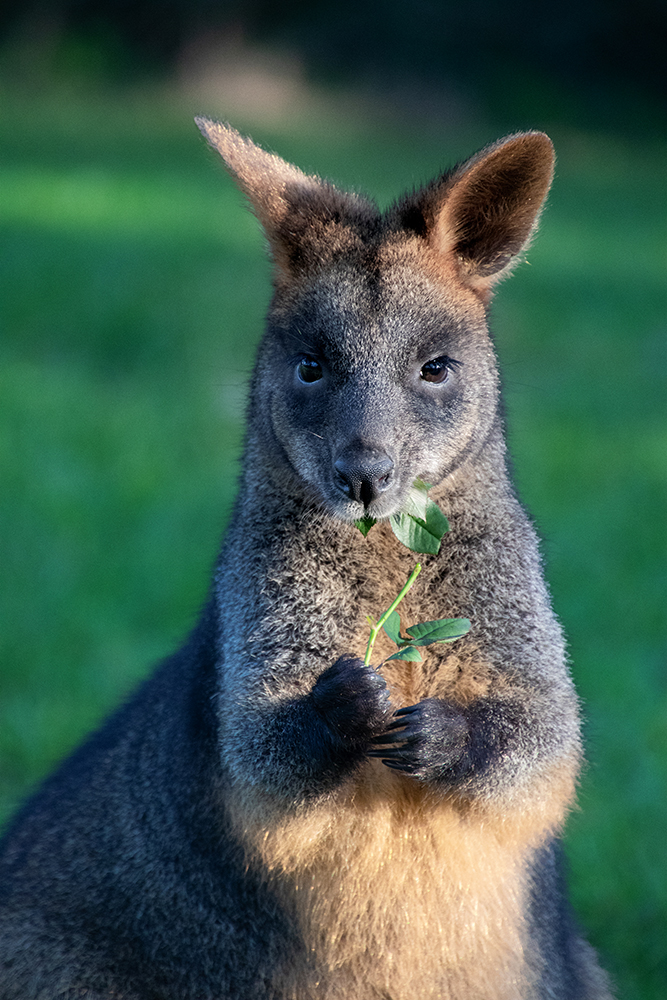 Moeraswallaby - Swamp wallaby