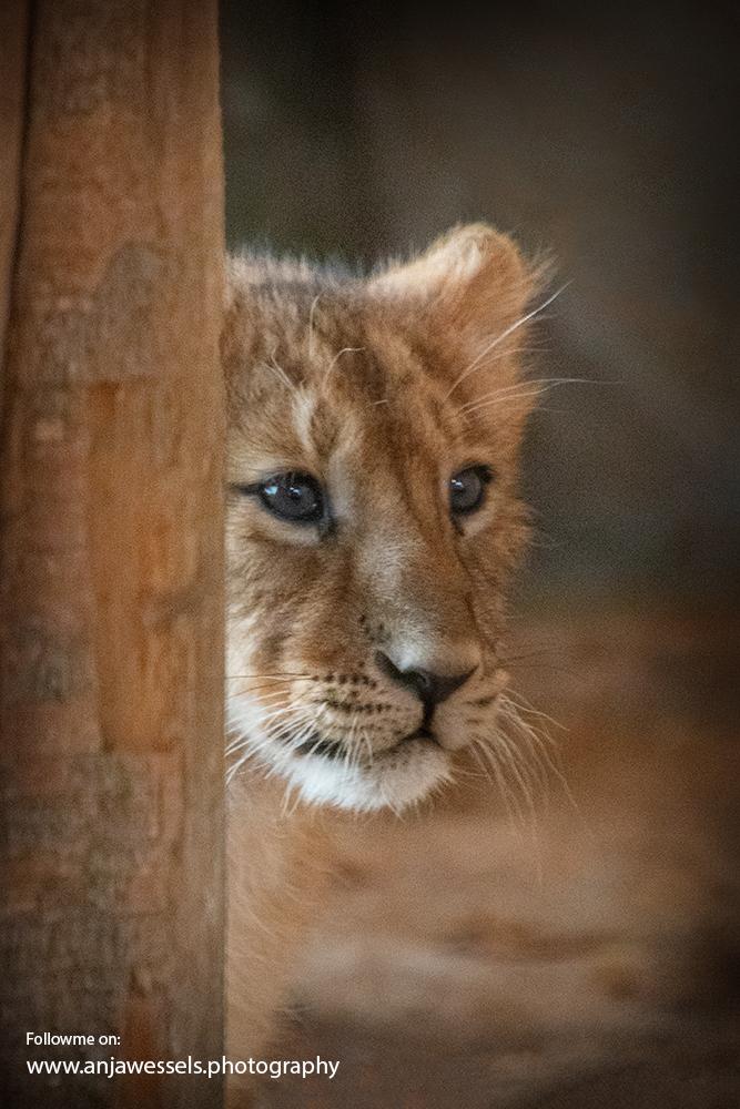 Aziatische leeuw – Asiatic lion