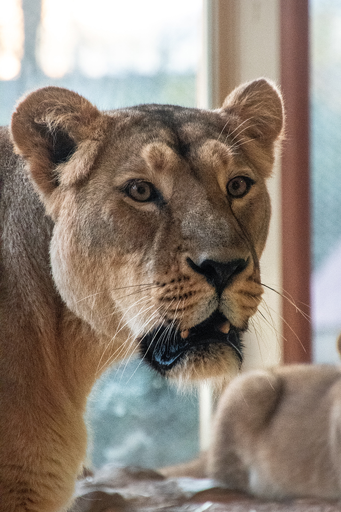 Aziatische leeuw - Asiatic lion