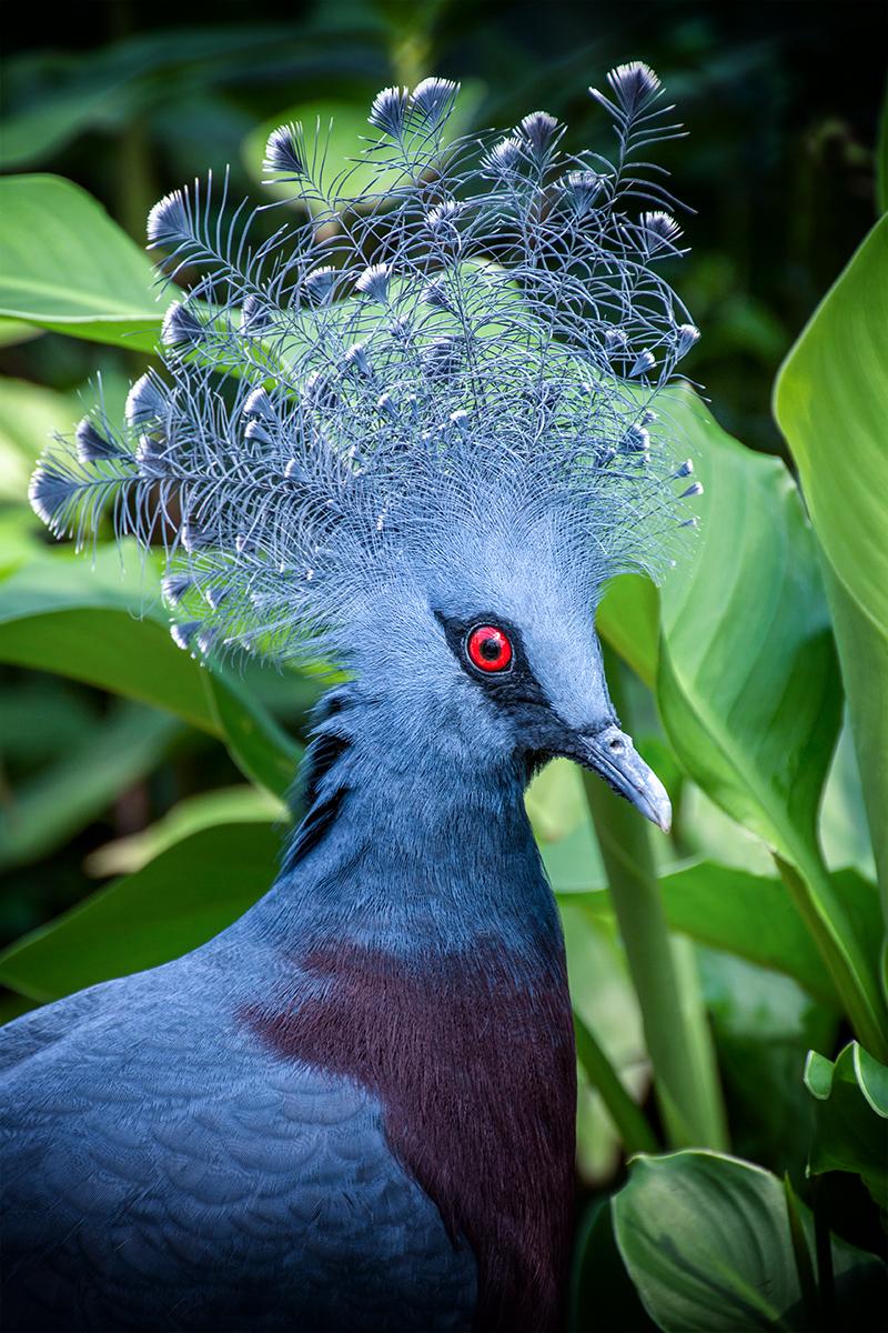 Kroonduif - Western crowned pigeon