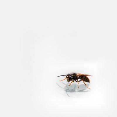 Wesp - Wasp