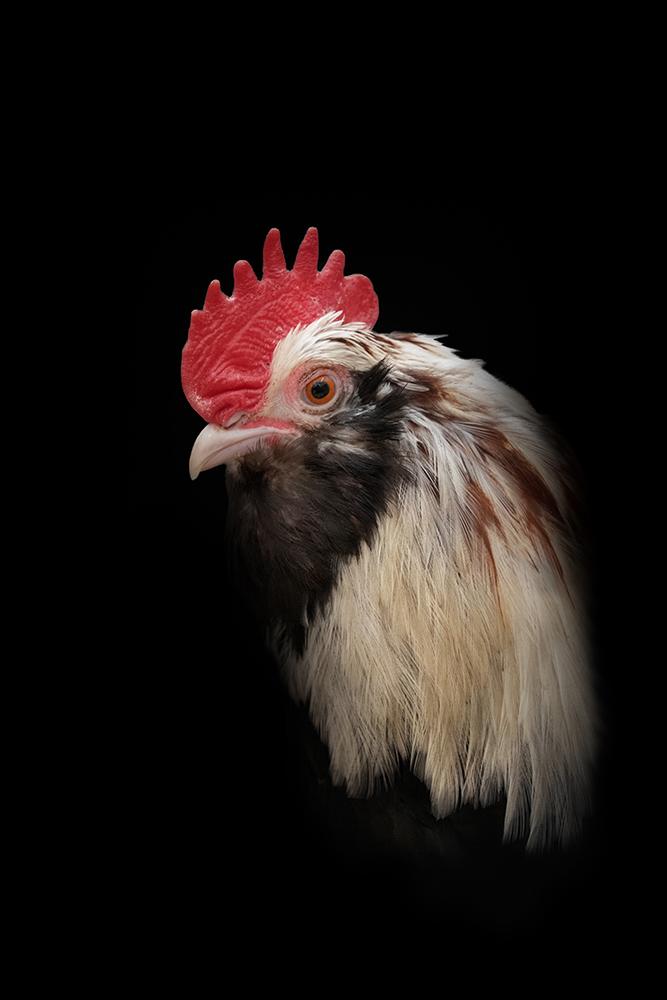 Haan - Rooster (Baardkriel - Barbu)