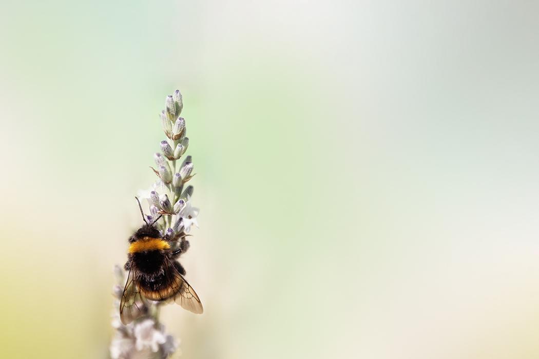 Hommel - Bumblebee