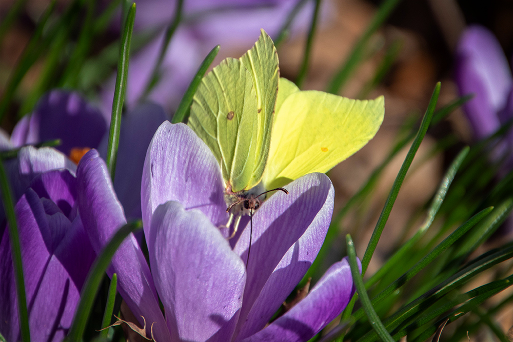 Citroenvlinder op krokus - Brimstone on Crocus