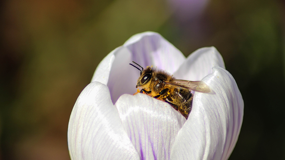 Bij op krokus - Bee on Crocus