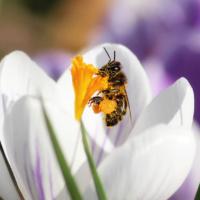 Bij op krokus - Bee on Crocus