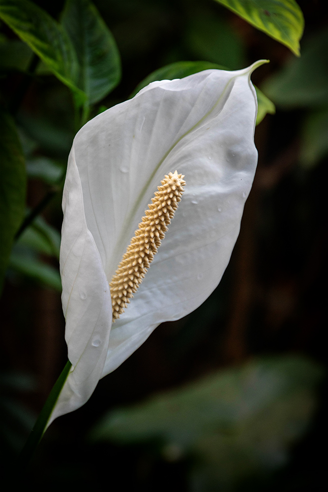 Lepelplant - Peace lily