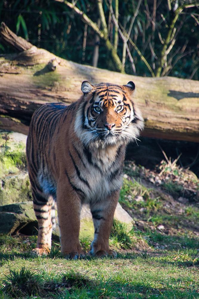 Sumatraanse tijger - Sumatran tiger