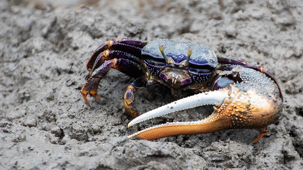 Wenkkrab - Fiddler crab