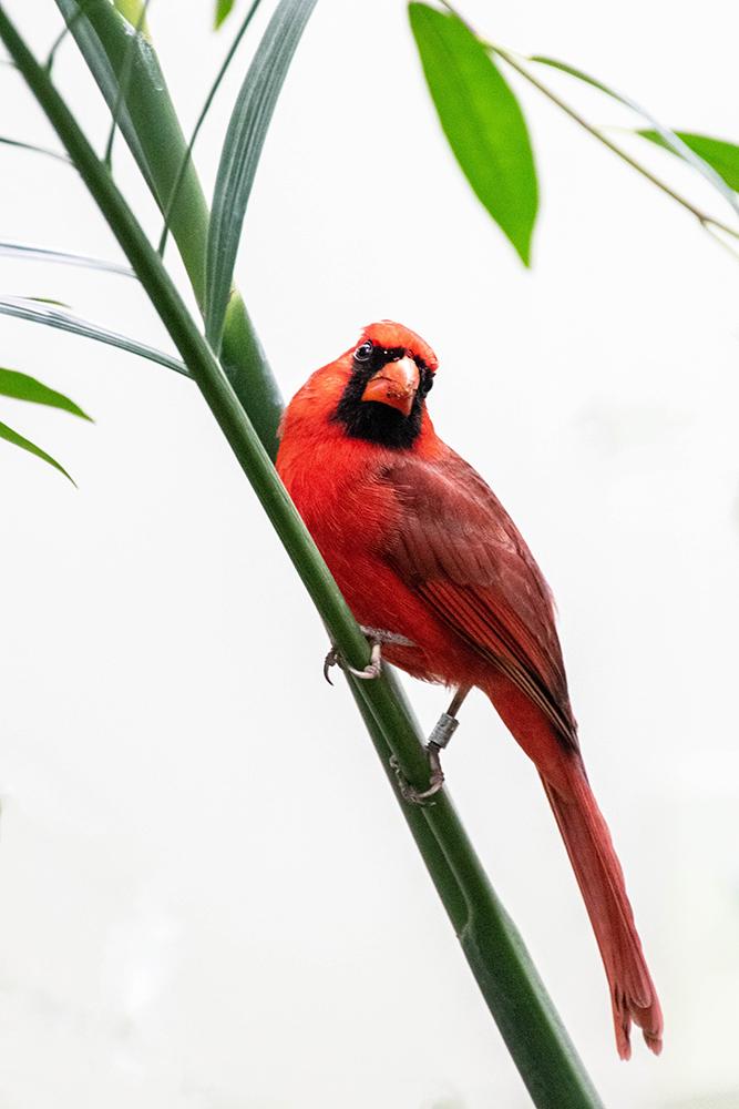 Rode kardinaal - Northern cardinal