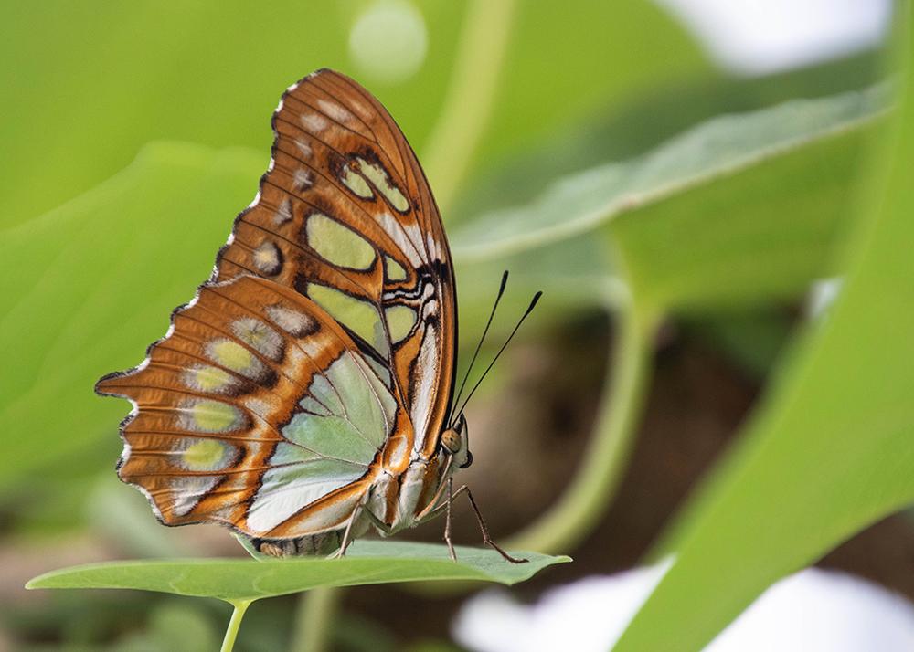 Malachietvlinder - Malachite