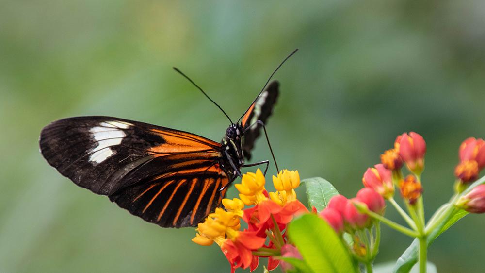 Doris passieblomevlinder - Doris Longwing butterfly