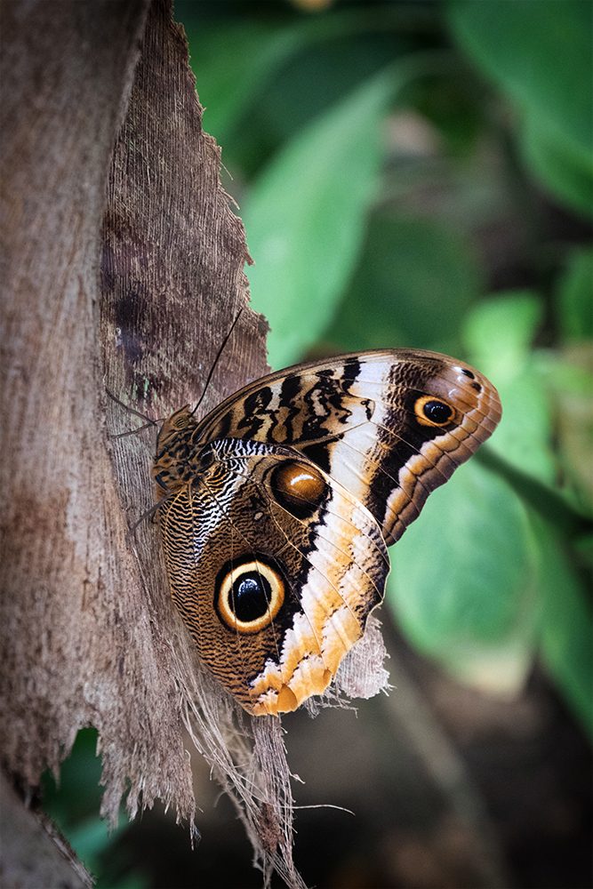 Uil vlinder - Owl butterfly
