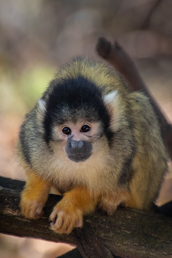 Boliviaans doodshoofdaapje - Black-capped squirrel monkey