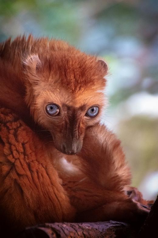 Blauwoogmaki - Blue-eyed black lemur