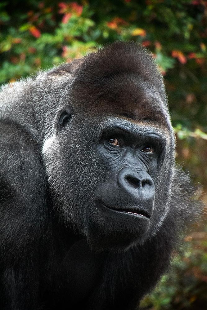 Gorilla (Bauwi)