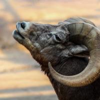 Dikhoornschaap - Bighorn sheep