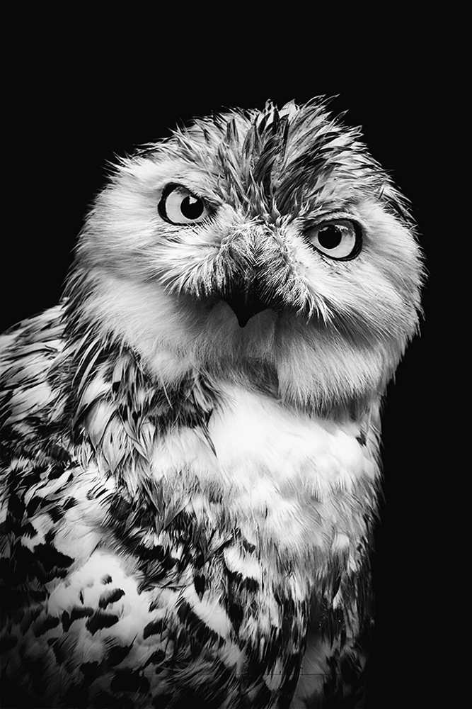 Sneeuwuil - Snowy owl