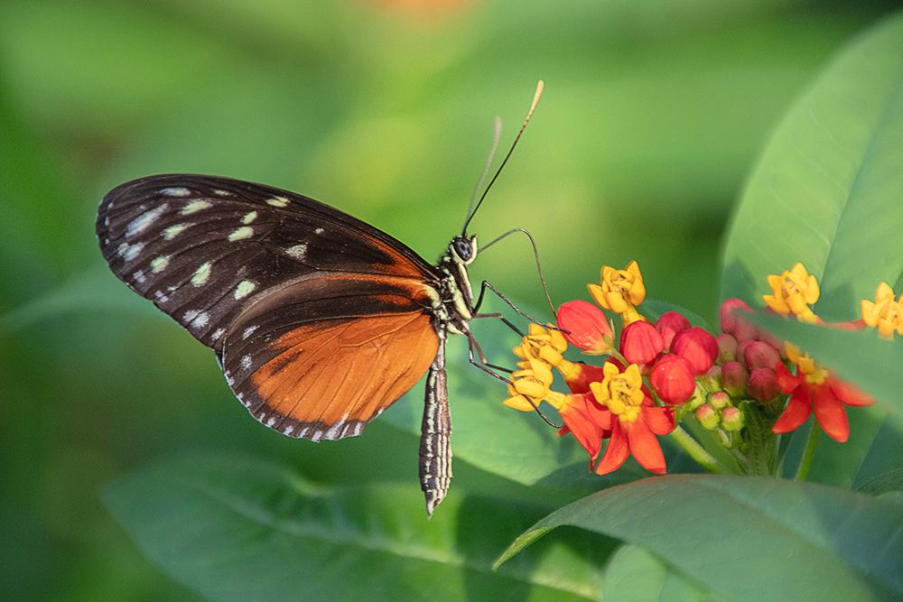 Tijger-passiebloem-vlinder - Tiger longwing
