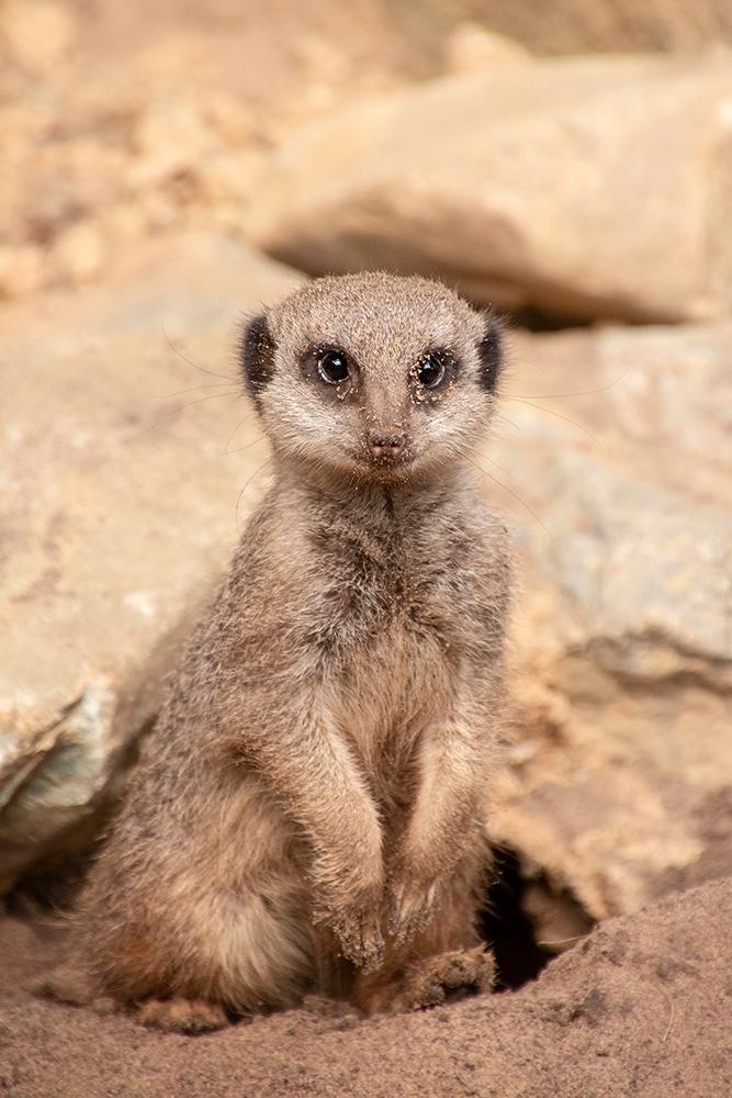 Stokstaartjes - Meerkat