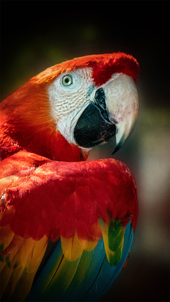 Ara veren - Scarlet macaw feathers