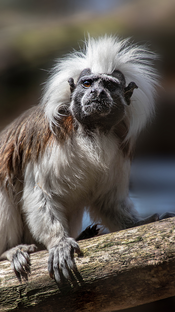 Pinché-aapje - Cotton-top tamarin