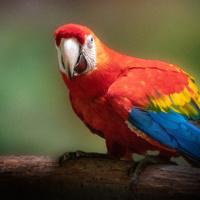 Ara - Scarlet macaw