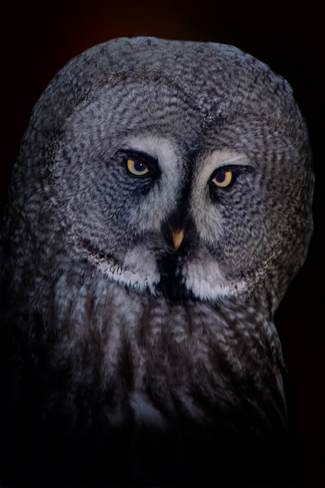 Laplanduil - Great grey owl (NaturZoo Rheine)