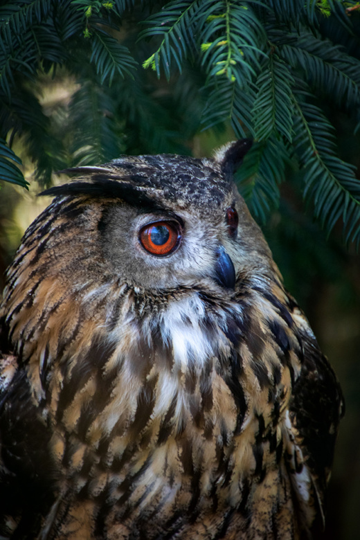 Oehoe - Eurasian eagle owl (NaturZoo Rheine)