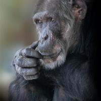 Mike - Chimpansee - Chimpanzee
