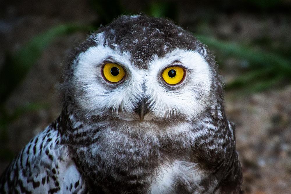 Jonge sneeuwuil - Young snowy owl (Ouwehand Dierenpark Rhenen)