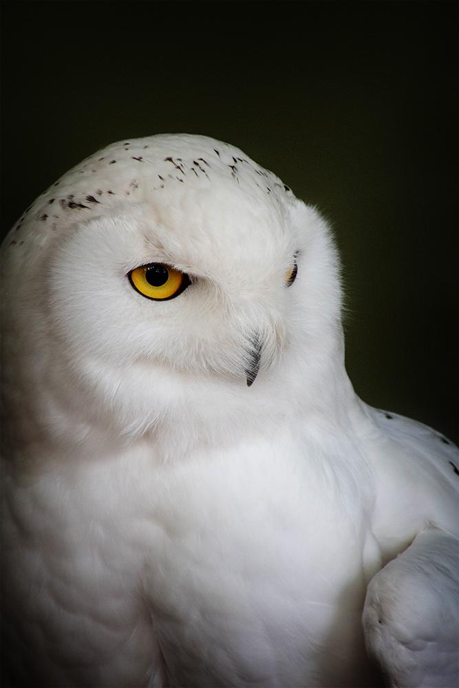 Sneeuwuil - Snowy owl (ZOO Antwerpen)