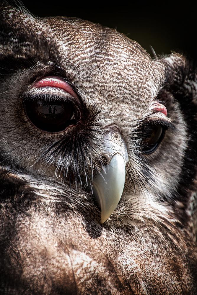 Verreaux' oehoe - Verreaux's eagle-owl (ZOO Antwerpen)