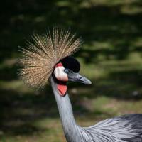 Kroonkraanvogel - Grey crowned crane (Naturzoo Rheine 2019)