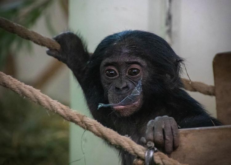 Kleine bonobo jongen