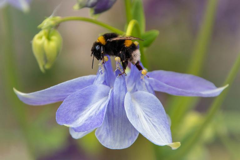Aardhommel op Akelei - Buff-tailed bumblebee on Columbine