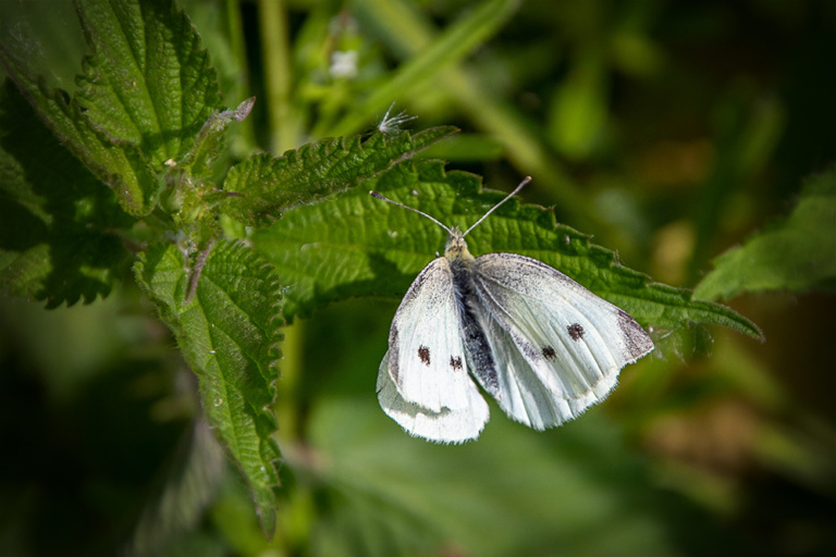 Koolwitje - Small white