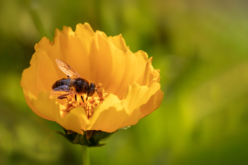 Kokardebloem met bij  - Blanket flower with bee
