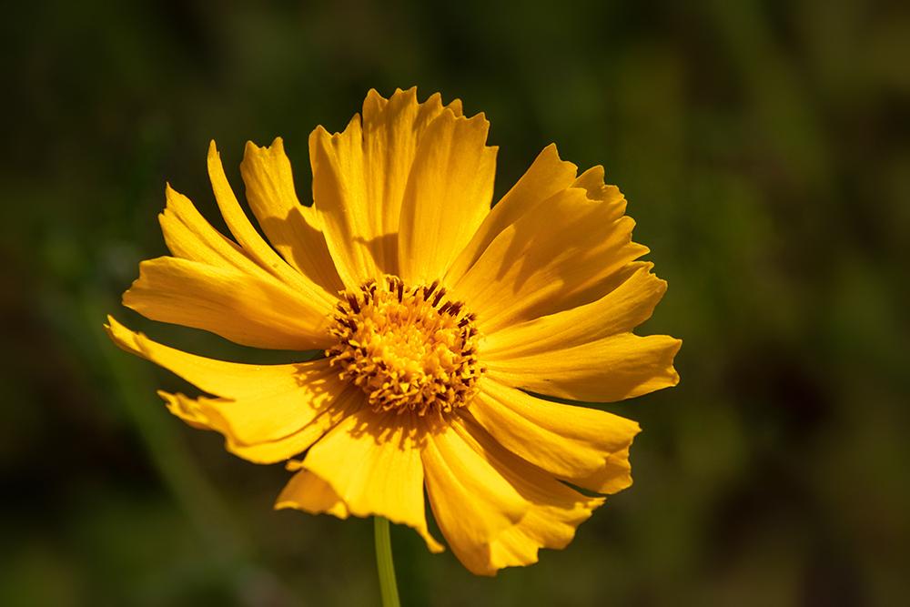 Kokardebloem - Blanket flowers