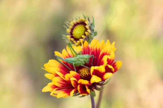 Kokardebloem met sprinkhaan - Blanket flower with Caelifera